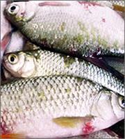 Πειραιάς: Κατασχέθηκαν ακατάλληλα για κατανάλωση ψάρια