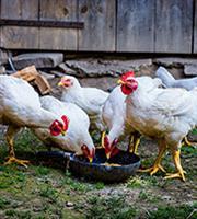 Ανατιμήσεις έως 8% σε κοτόπουλα και πουλερικά