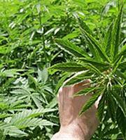 Ουρά επενδυτών για άδεια παραγωγής φαρμακευτικής κάνναβης